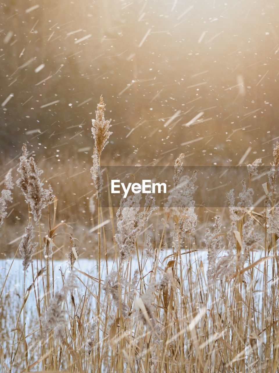 plant, water, tranquility, no people, lake, nature, day, winter, cold temperature, beauty in nature, growth, grass, snow, outdoors, dry, motion, close-up, focus on foreground