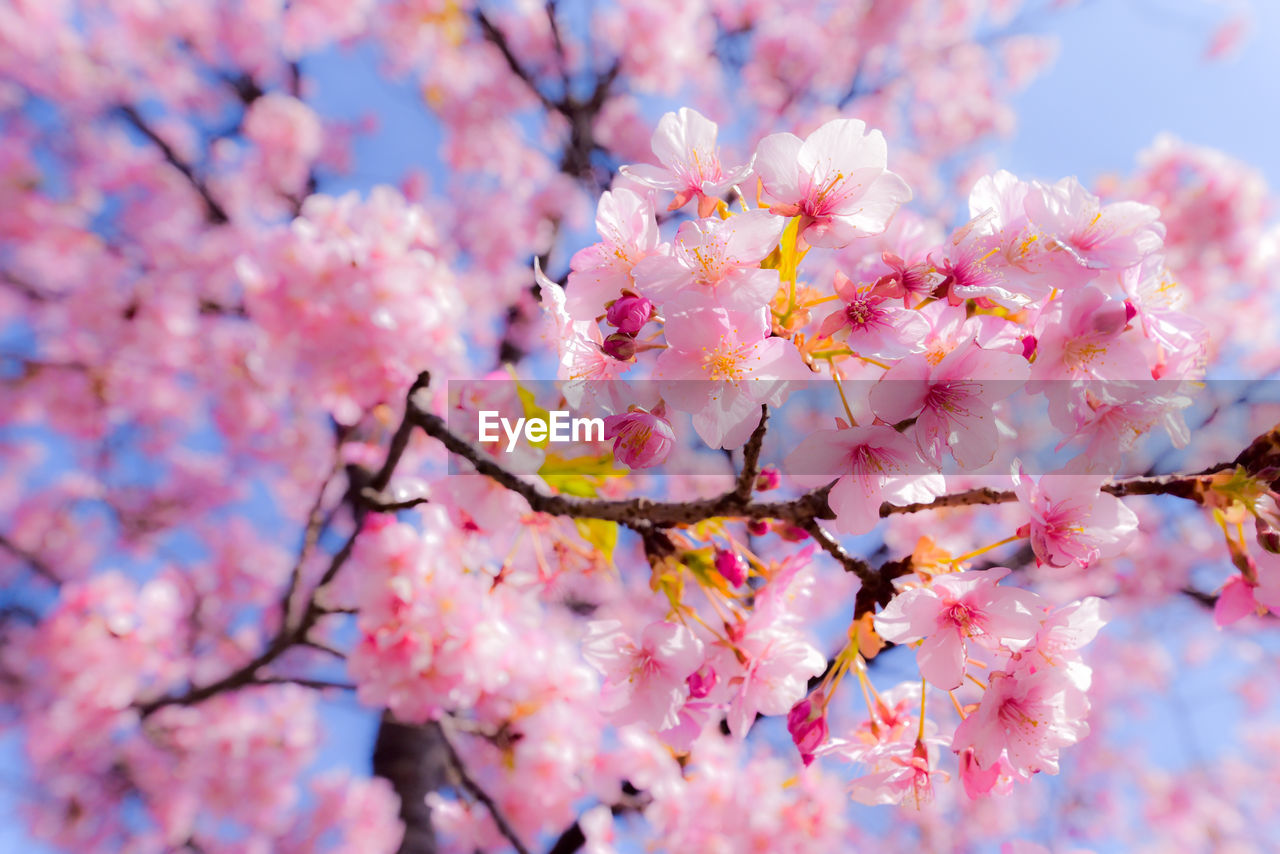 flower, beauty in nature, fragility, springtime, cherry blossom, nature, blossom, freshness, tree, branch, growth, pink color, botany, no people, outdoors, day, selective focus, petal, plum blossom, close-up, blooming, flower head