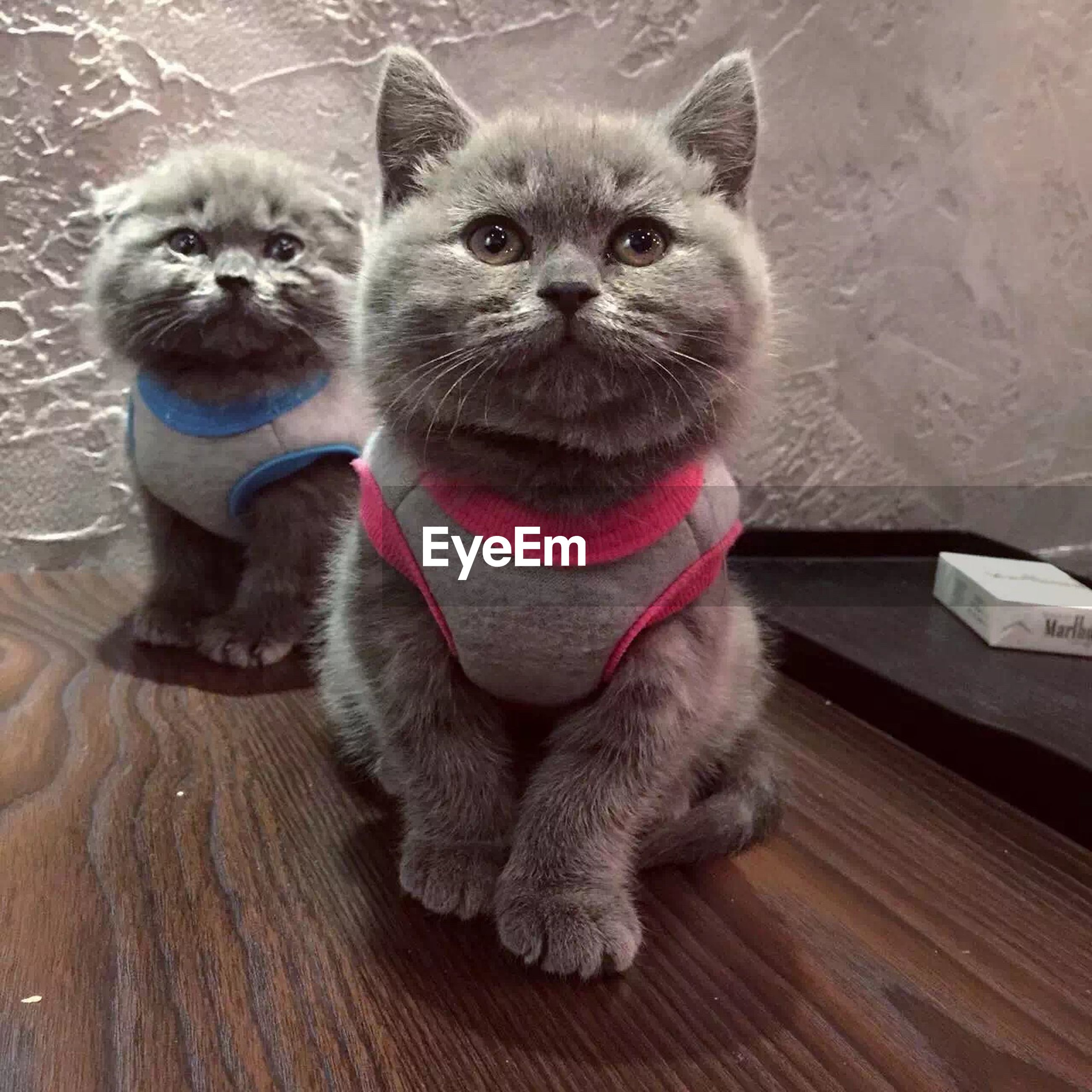 animal themes, pets, one animal, mammal, domestic animals, looking at camera, portrait, sitting, domestic cat, cute, cat, indoors, relaxation, young animal, feline, whisker, full length, front view, wood - material, high angle view