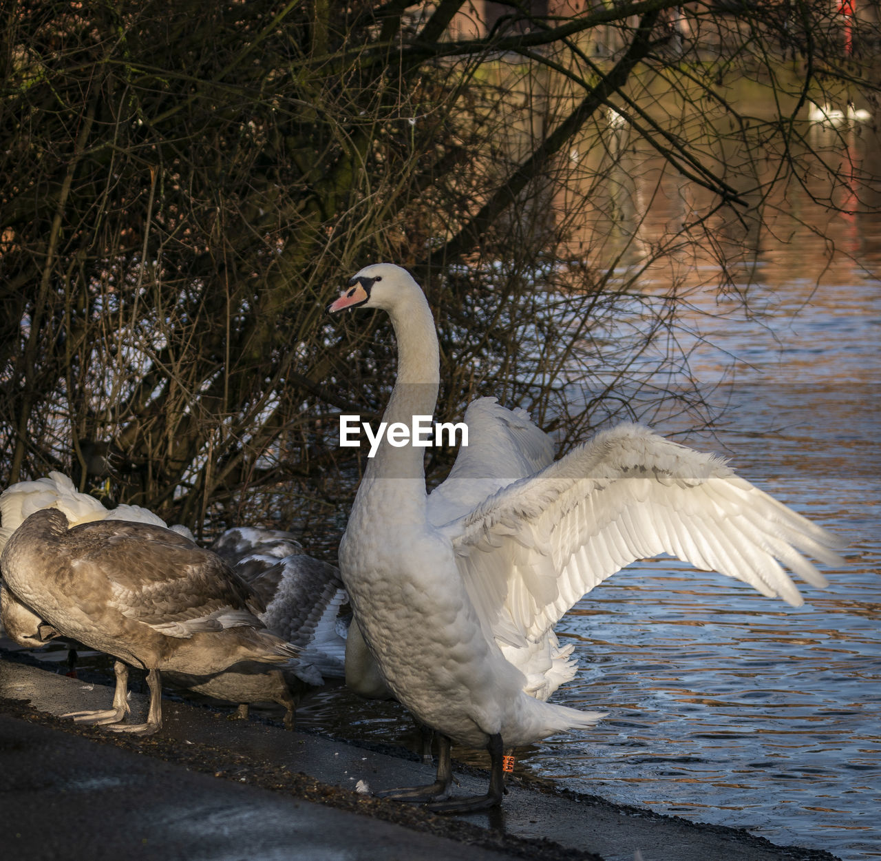 animal themes, animals in the wild, bird, animal, animal wildlife, vertebrate, water, group of animals, nature, lake, day, swan, no people, water bird, white color, goose, spread wings, tree, flapping