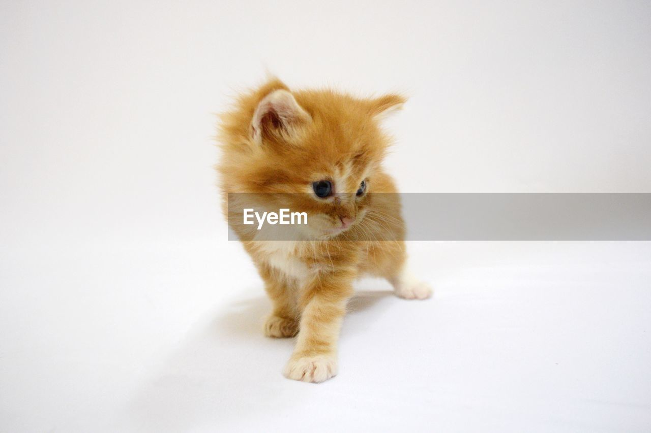 Close-up of kitten over white background