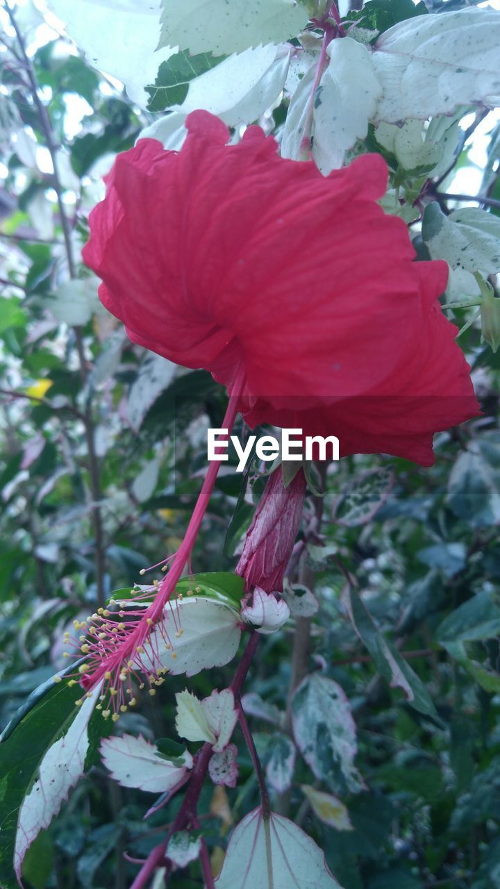 flower, petal, growth, red, nature, plant, fragility, beauty in nature, outdoors, no people, day, close-up, freshness, flower head, blooming, hibiscus, leaf