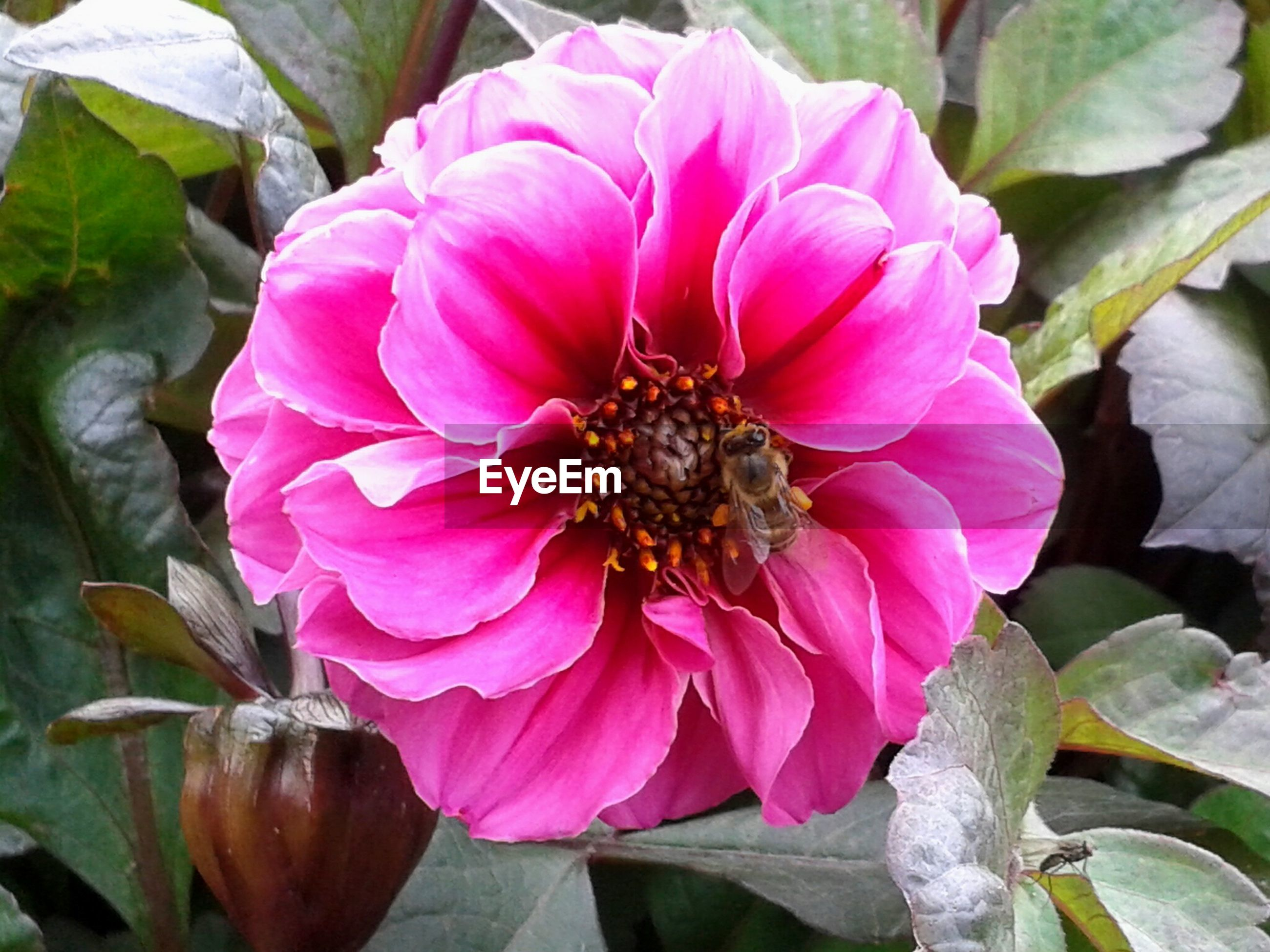 Close-up of honey bee on pink flower in park