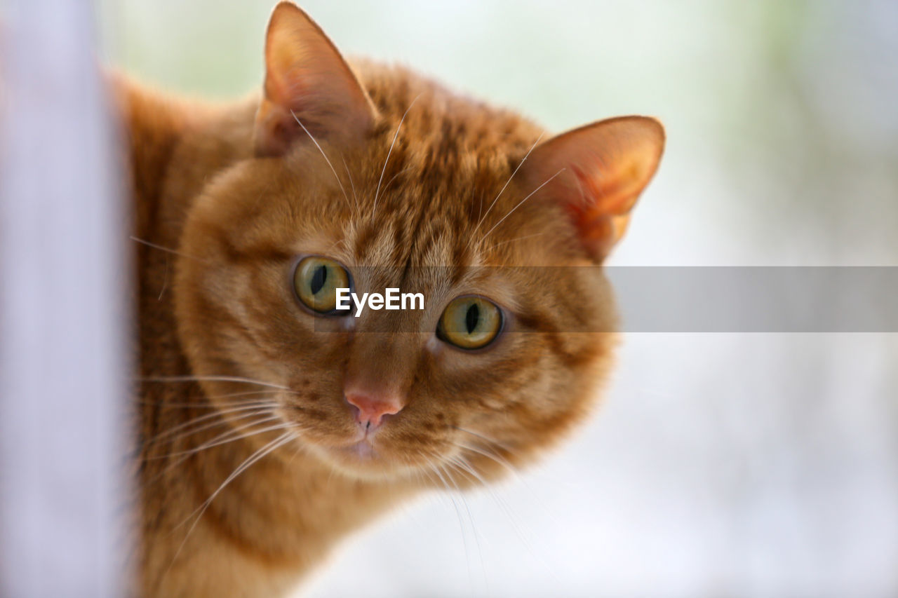 cat, domestic cat, feline, domestic, pets, domestic animals, mammal, animal themes, animal, one animal, whisker, vertebrate, focus on foreground, close-up, looking at camera, animal head, animal body part, portrait, looking, no people, animal eye, ginger cat, tabby