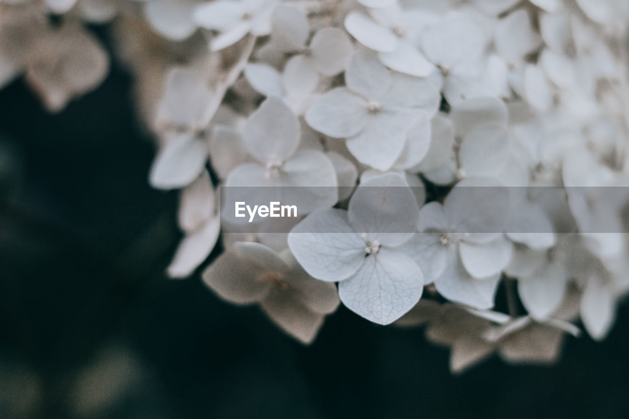 plant, flower, flowering plant, fragility, beauty in nature, vulnerability, close-up, growth, petal, flower head, no people, freshness, white color, focus on foreground, inflorescence, selective focus, nature, hydrangea, outdoors, day