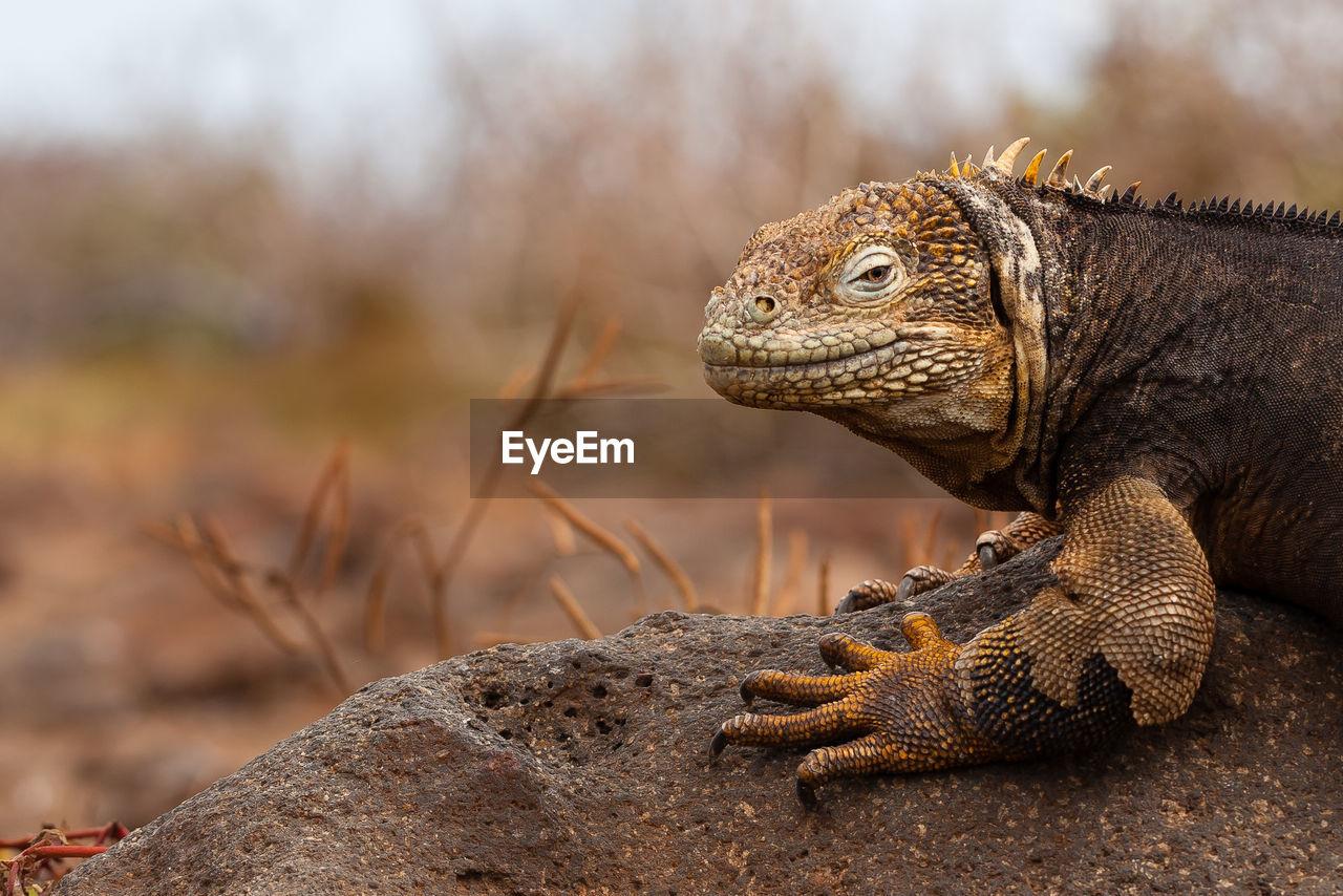 Close-up of land iguana on rock