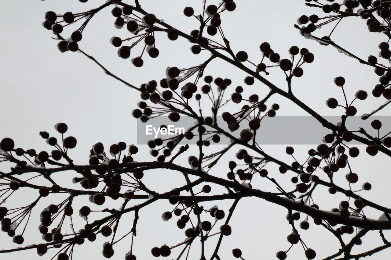 plant, sky, tree, low angle view, branch, growth, silhouette, no people, beauty in nature, nature, flower, flowering plant, outdoors, day, freshness, clear sky, tranquility, dusk, twig, close-up, spring, flock of birds