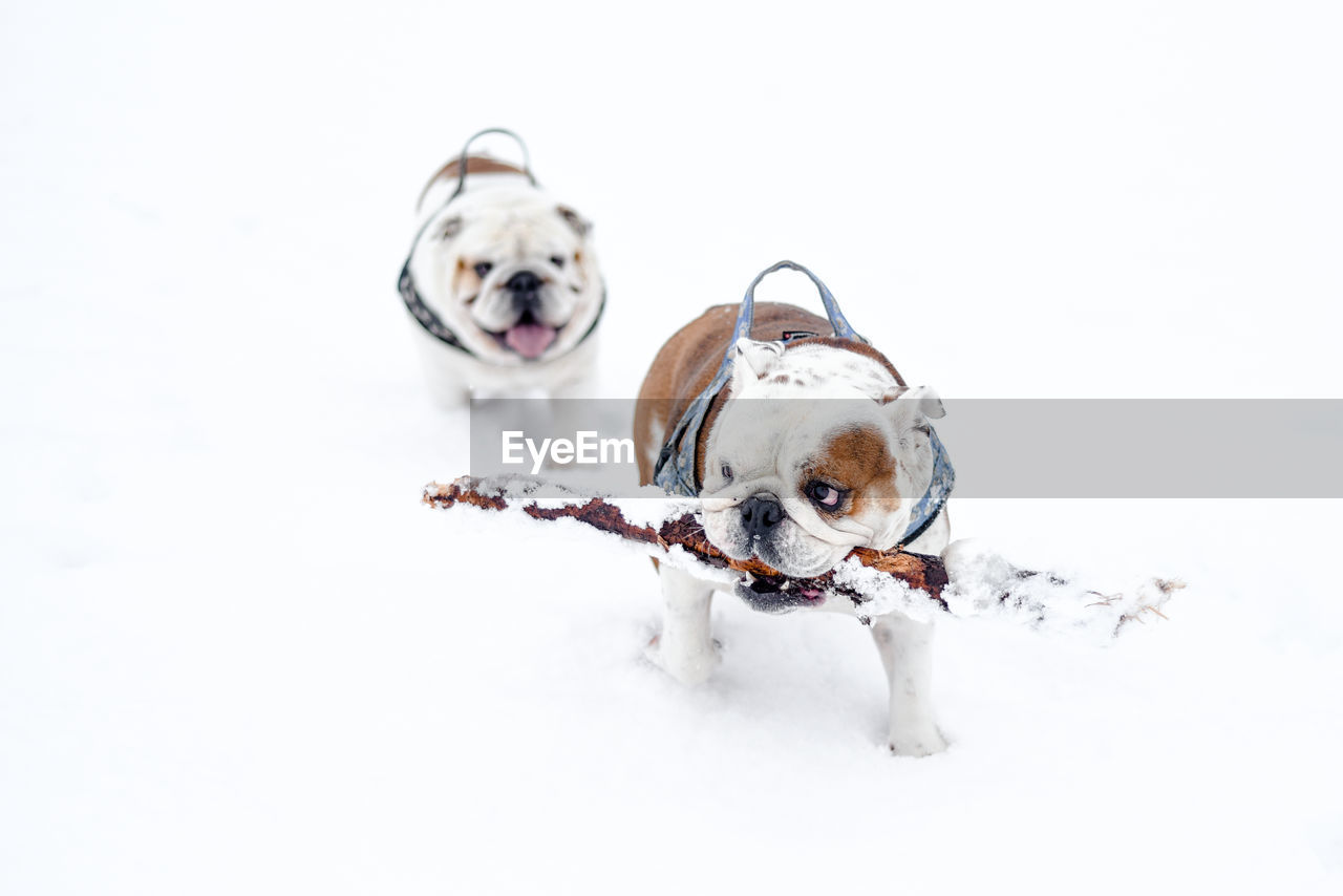 canine, dog, domestic, domestic animals, pets, mammal, animal themes, animal, one animal, vertebrate, no people, copy space, indoors, white color, snow, winter, studio shot, puppy, small, purebred dog