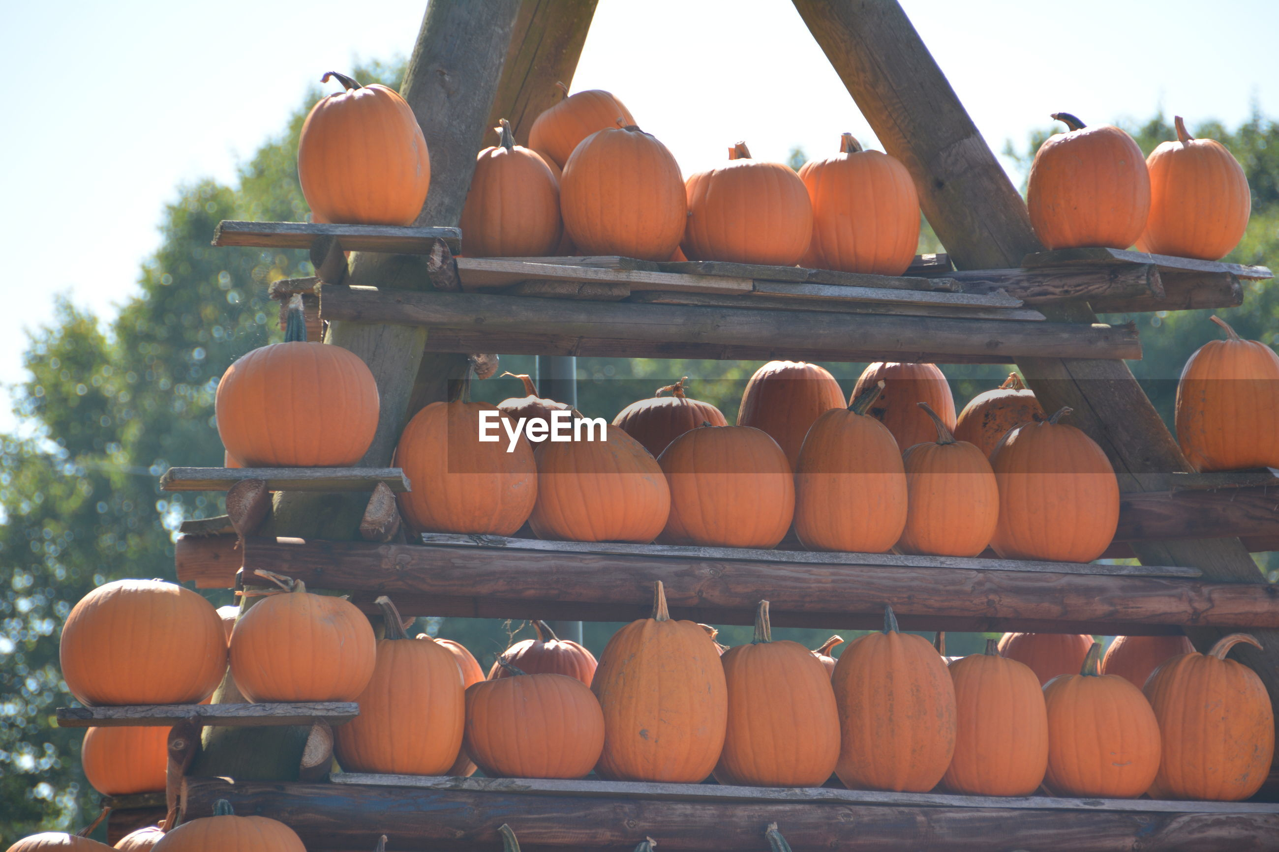 Pumpkins arranged on shelves for sale at market