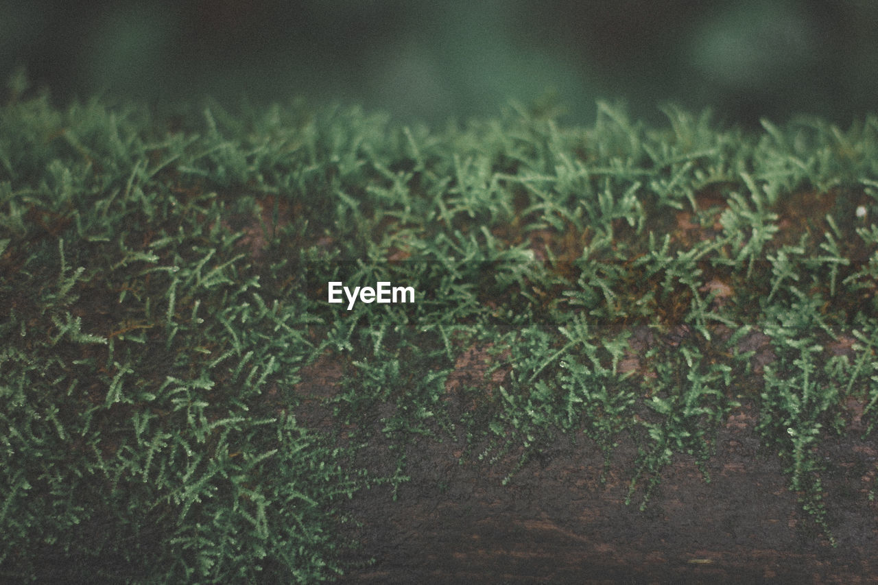 plant, growth, green color, no people, nature, day, land, close-up, beauty in nature, selective focus, outdoors, tranquility, plant part, leaf, field, grass, focus on foreground, freshness, tree, forest