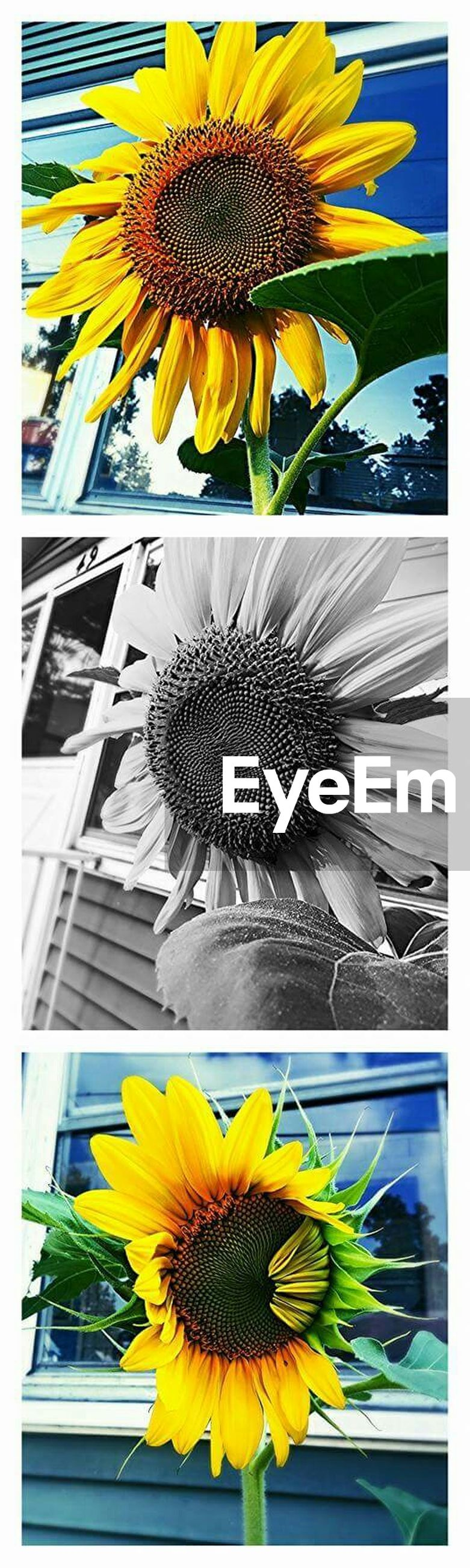 yellow, flower, building exterior, architecture, built structure, fragility, transfer print, sunflower, freshness, flower head, petal, auto post production filter, growth, low angle view, window, plant, day, outdoors, nature, no people