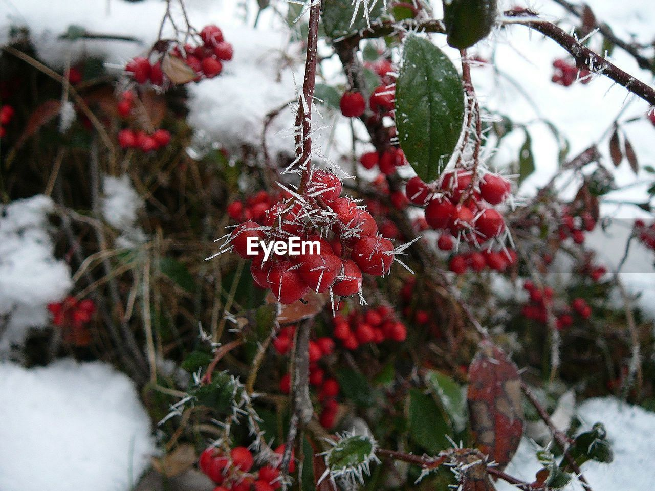 cold temperature, winter, snow, red, growth, focus on foreground, beauty in nature, food, nature, freshness, day, no people, close-up, frozen, plant, fruit, berry fruit, food and drink, healthy eating, outdoors, ice, rowanberry