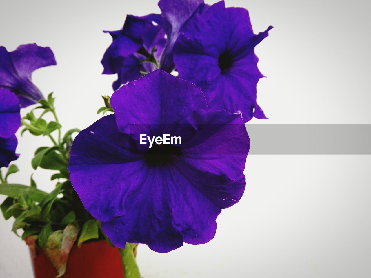 flower, petal, fragility, purple, beauty in nature, flower head, freshness, nature, growth, plant, no people, petunia, close-up, day, studio shot, outdoors, blooming, iris - plant