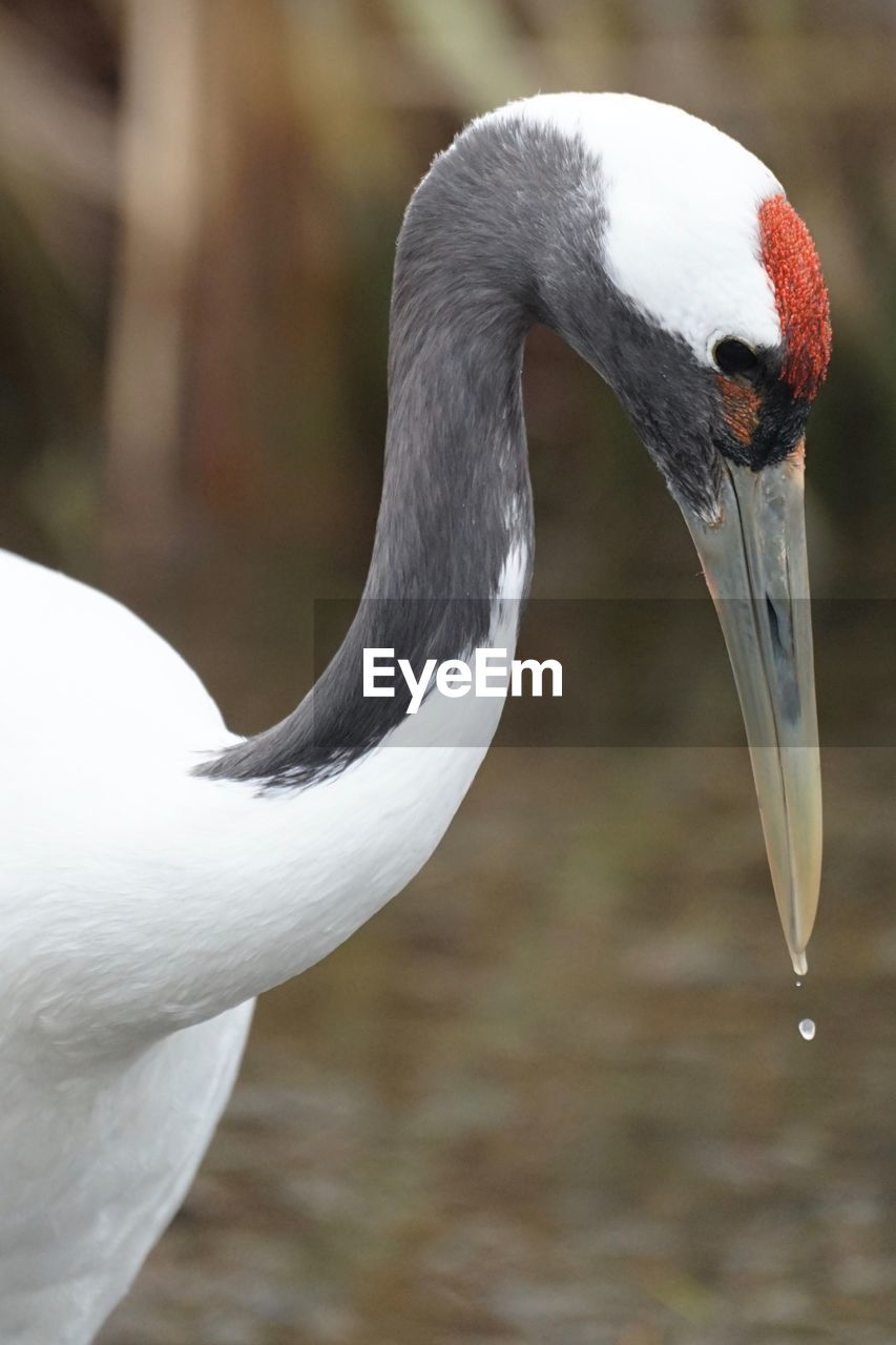 animal themes, bird, animal, animal wildlife, vertebrate, animals in the wild, one animal, focus on foreground, beak, white color, day, close-up, animal body part, no people, swan, nature, animal neck, water bird, beauty in nature, animal head, crane - bird, freshwater bird