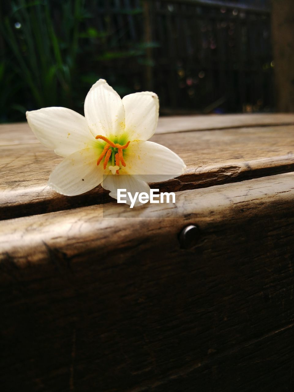 flower, petal, flower head, fragility, freshness, white color, beauty in nature, no people, nature, close-up, wood - material, outdoors, day, frangipani