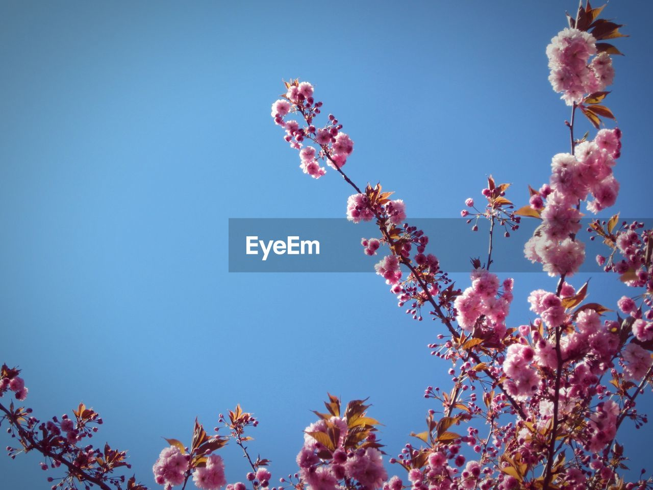 LOW ANGLE VIEW OF PINK FLOWERS AGAINST CLEAR BLUE SKY