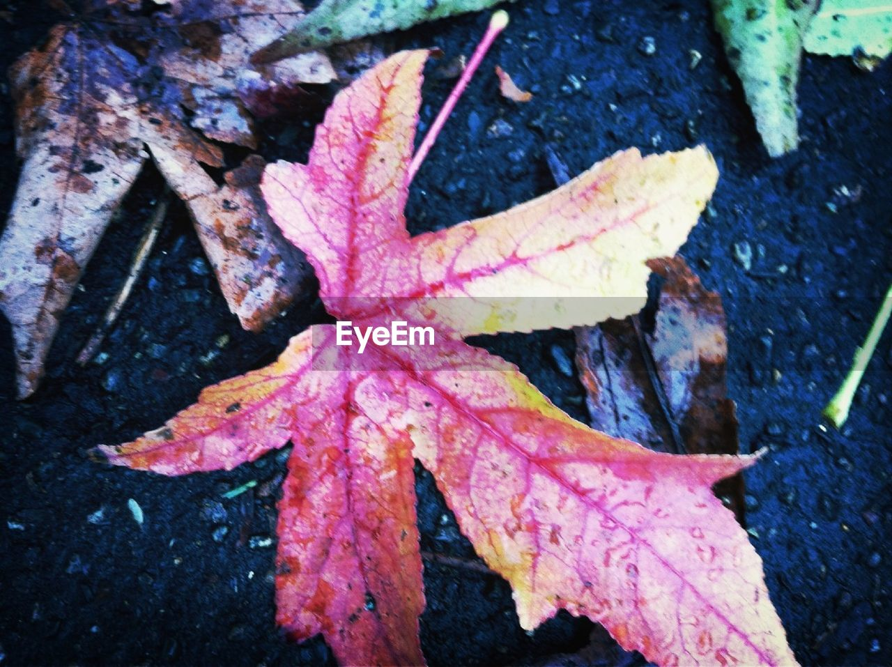 leaf, autumn, change, dry, day, maple leaf, nature, outdoors, maple, fragility, wet, high angle view, close-up, drop, no people, beauty in nature, water