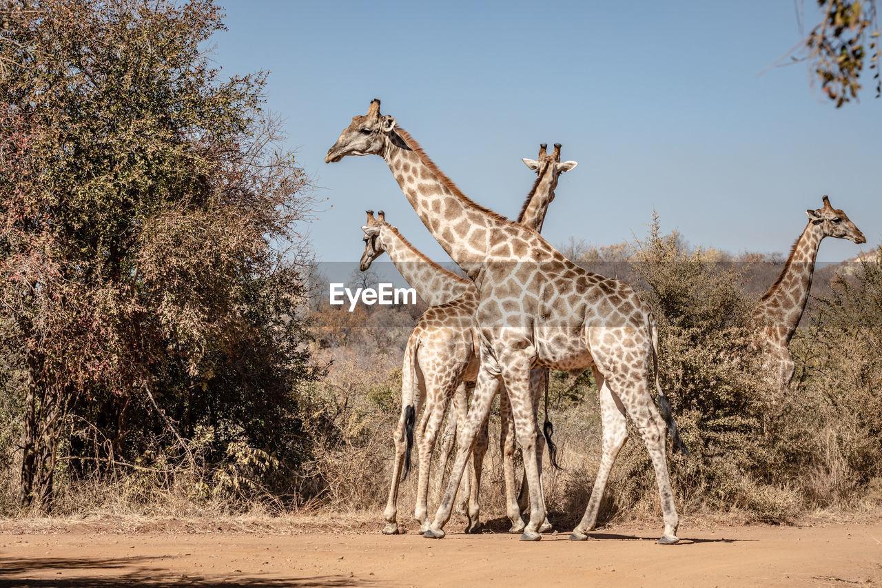 VIEW OF GIRAFFE ON LAND