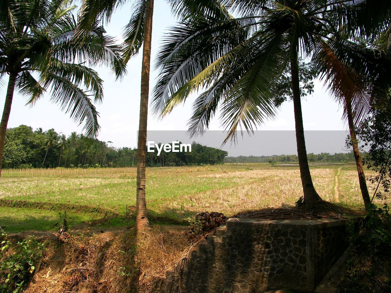 tree, palm tree, growth, nature, tranquil scene, scenics, no people, tree trunk, field, tranquility, beauty in nature, outdoors, day, agriculture, landscape, branch, sky, water