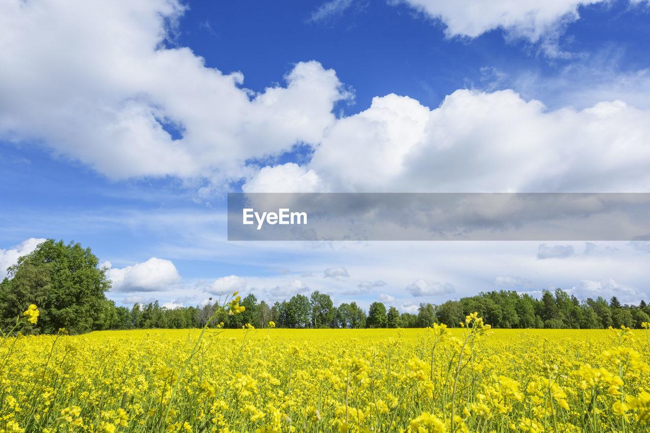 VIEW OF OILSEED RAPE FIELD AGAINST SKY