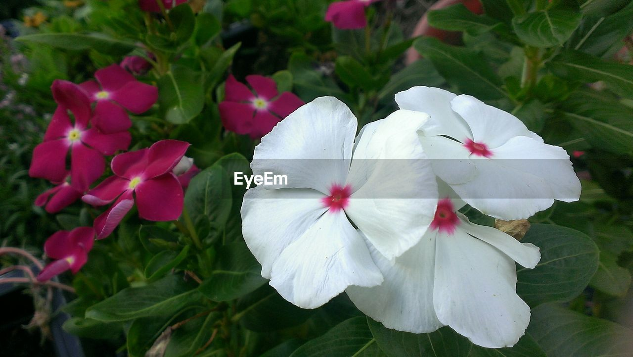 Close-Up Of Vinca Minors Blooming In Backyard