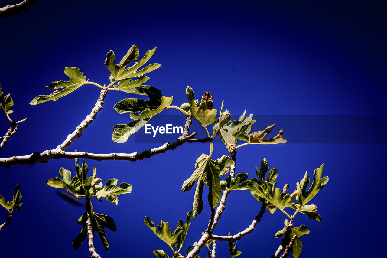 blue, low angle view, growth, nature, clear sky, no people, day, catkin, tree, outdoors, plant, beauty in nature, branch, flower, close-up, sky