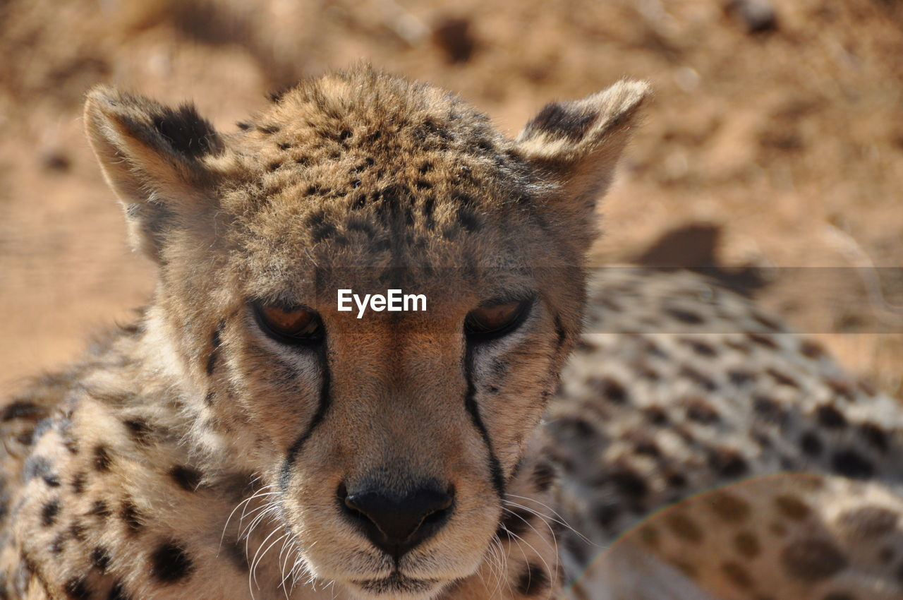 animals in the wild, one animal, cheetah, animal themes, animal wildlife, focus on foreground, close-up, day, outdoors, portrait, mammal, no people, looking at camera, safari animals, nature, leopard
