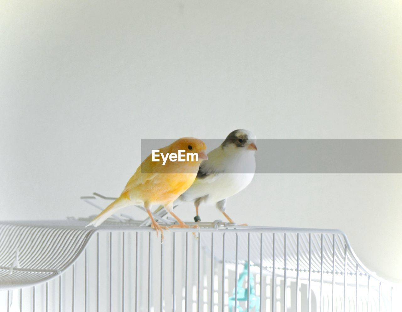 animal themes, animal, perching, bird, vertebrate, group of animals, animal wildlife, two animals, animals in the wild, railing, no people, copy space, metal, day, white color, parakeet, outdoors, nature