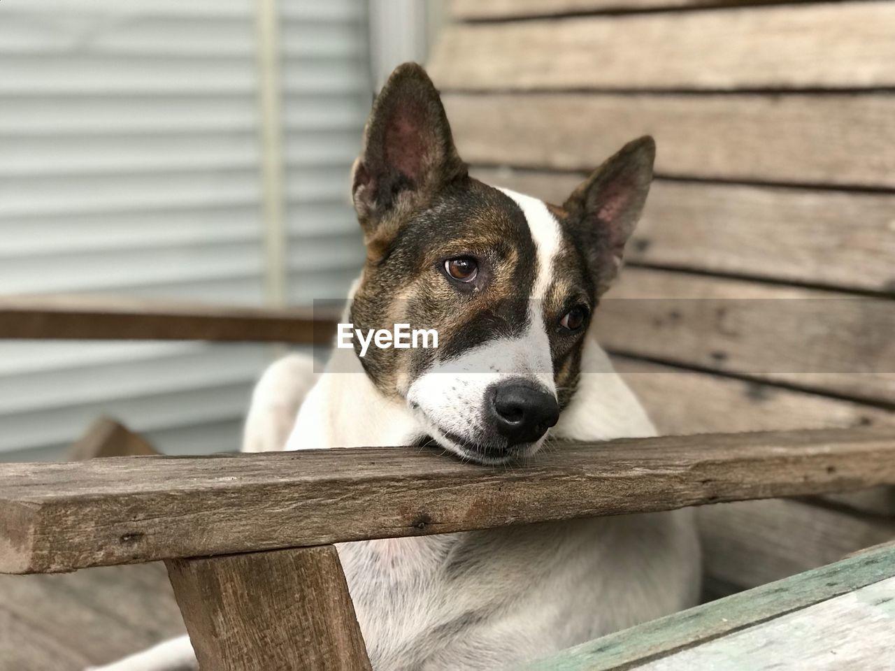 Close-Up Portrait Of Dog On Wood