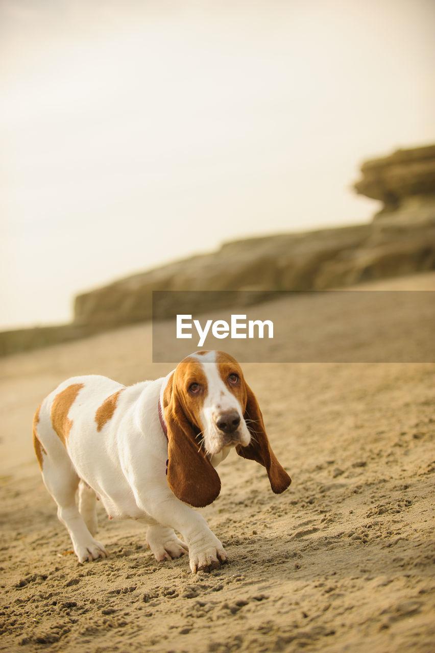 Close-Up Of Basset Hound Dog Standing On Beach