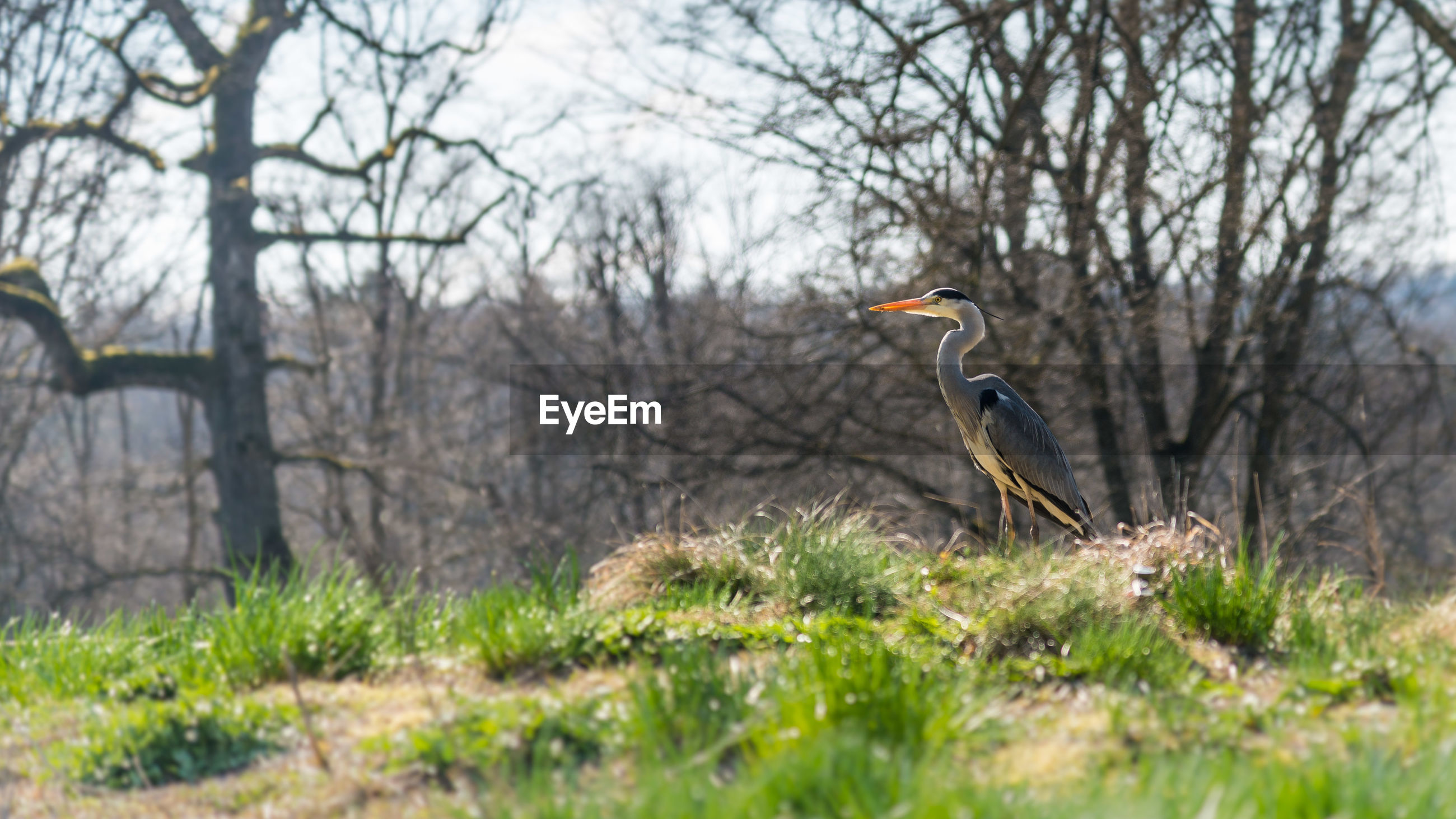 HIGH ANGLE VIEW OF HERON PERCHING ON BARE TREES