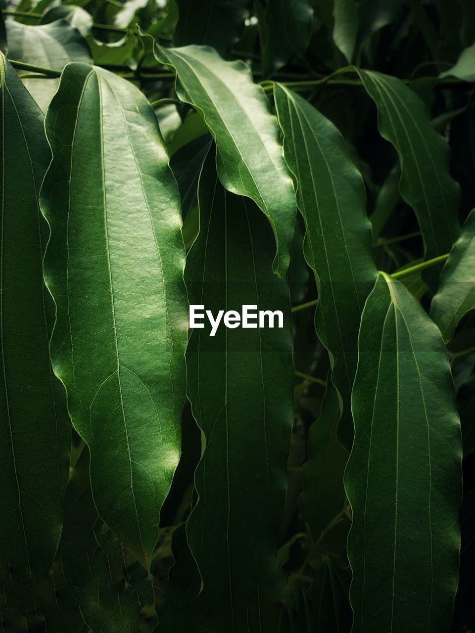 leaf, plant part, green color, growth, plant, beauty in nature, close-up, nature, no people, freshness, day, focus on foreground, outdoors, leaf vein, fragility, vulnerability, full frame, tranquility, botany, vegetable, leaves