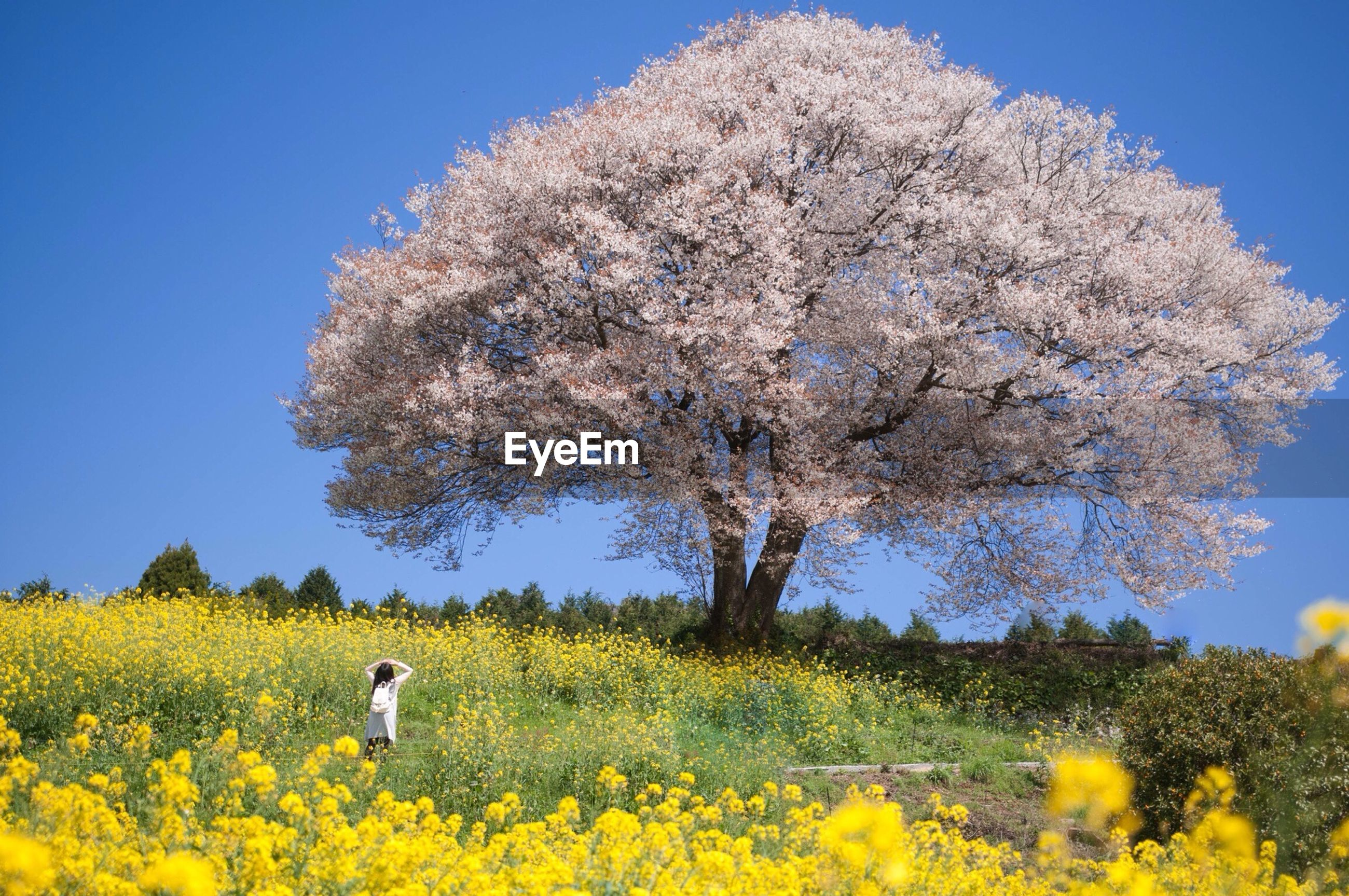 Rear view of girl looking at cherry blossom tree in meadow