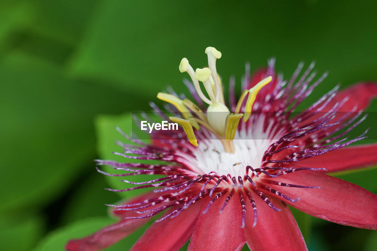flower, growth, petal, freshness, beauty in nature, fragility, nature, flower head, close-up, plant, day, outdoors, no people, red, springtime, blooming