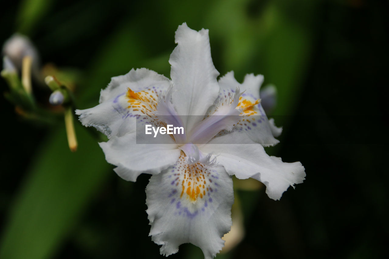 Close-Up Of White Iris Flower Blooming At Park