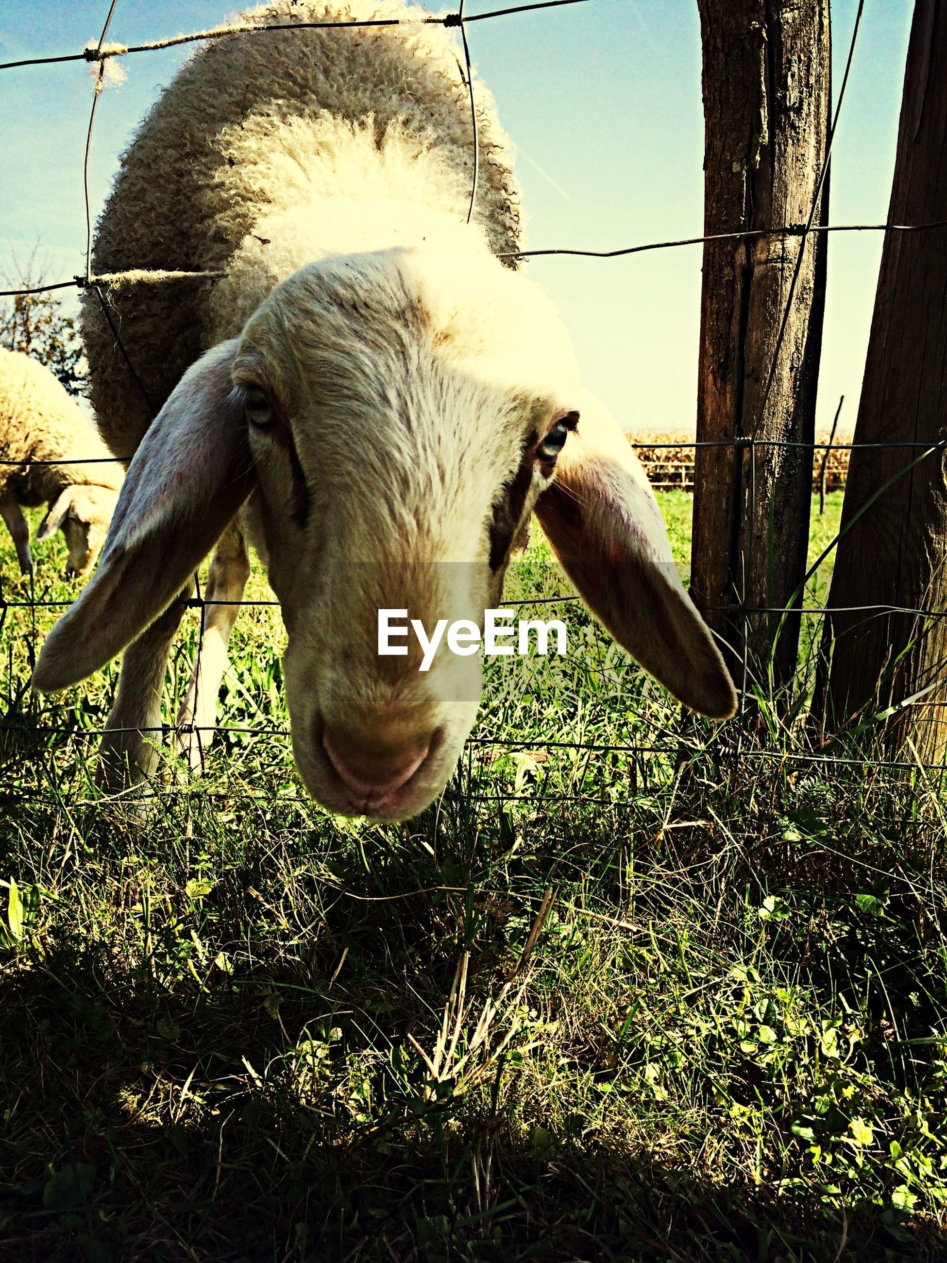 Portrait of sheep looking through fence