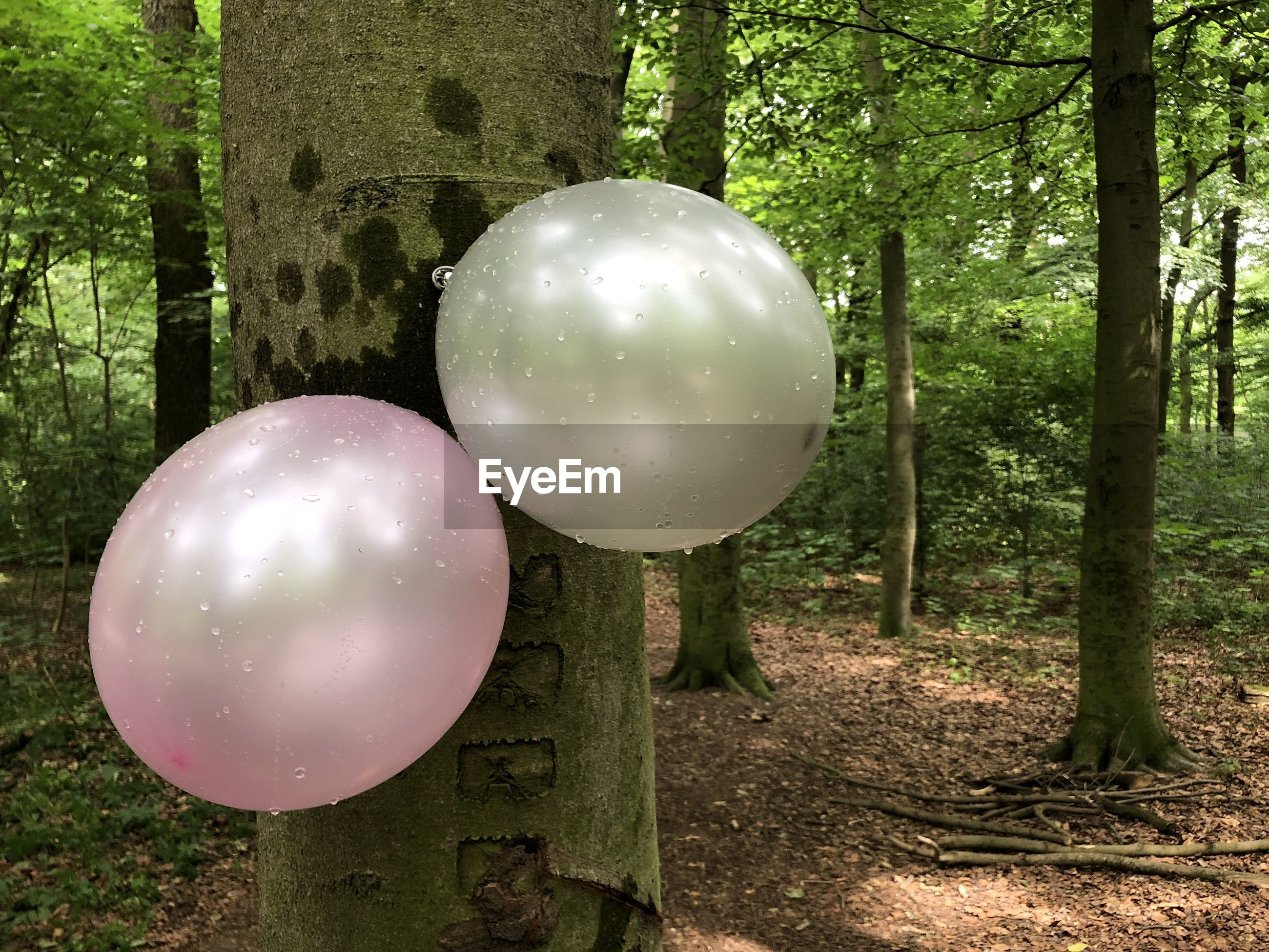 Wet balloons on tree trunk in forest
