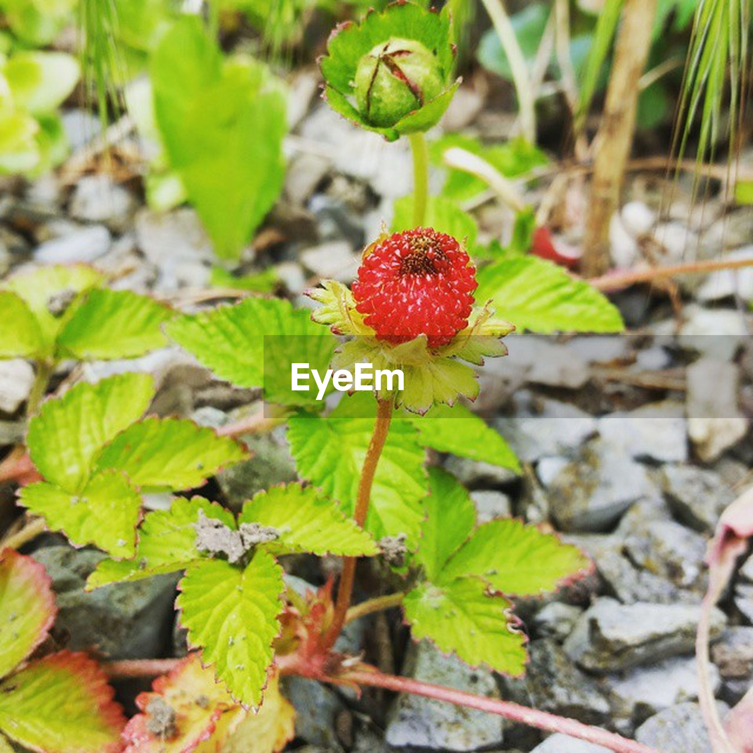 growth, red, freshness, leaf, fruit, plant, nature, close-up, green color, beauty in nature, growing, focus on foreground, food and drink, field, day, high angle view, flower, berry fruit, outdoors, stem