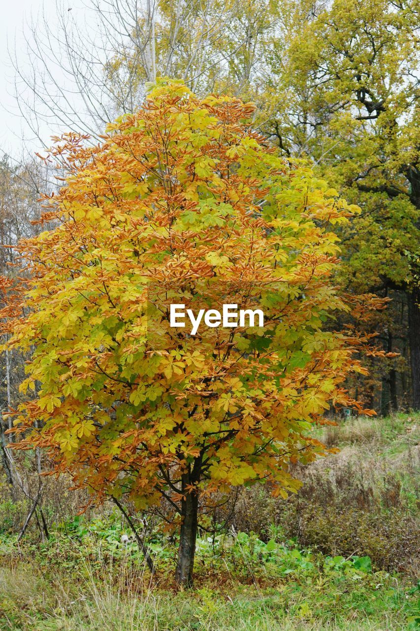 autumn, change, nature, tree, leaf, no people, maple tree, tranquility, beauty in nature, outdoors, day, yellow, scenics, multi colored