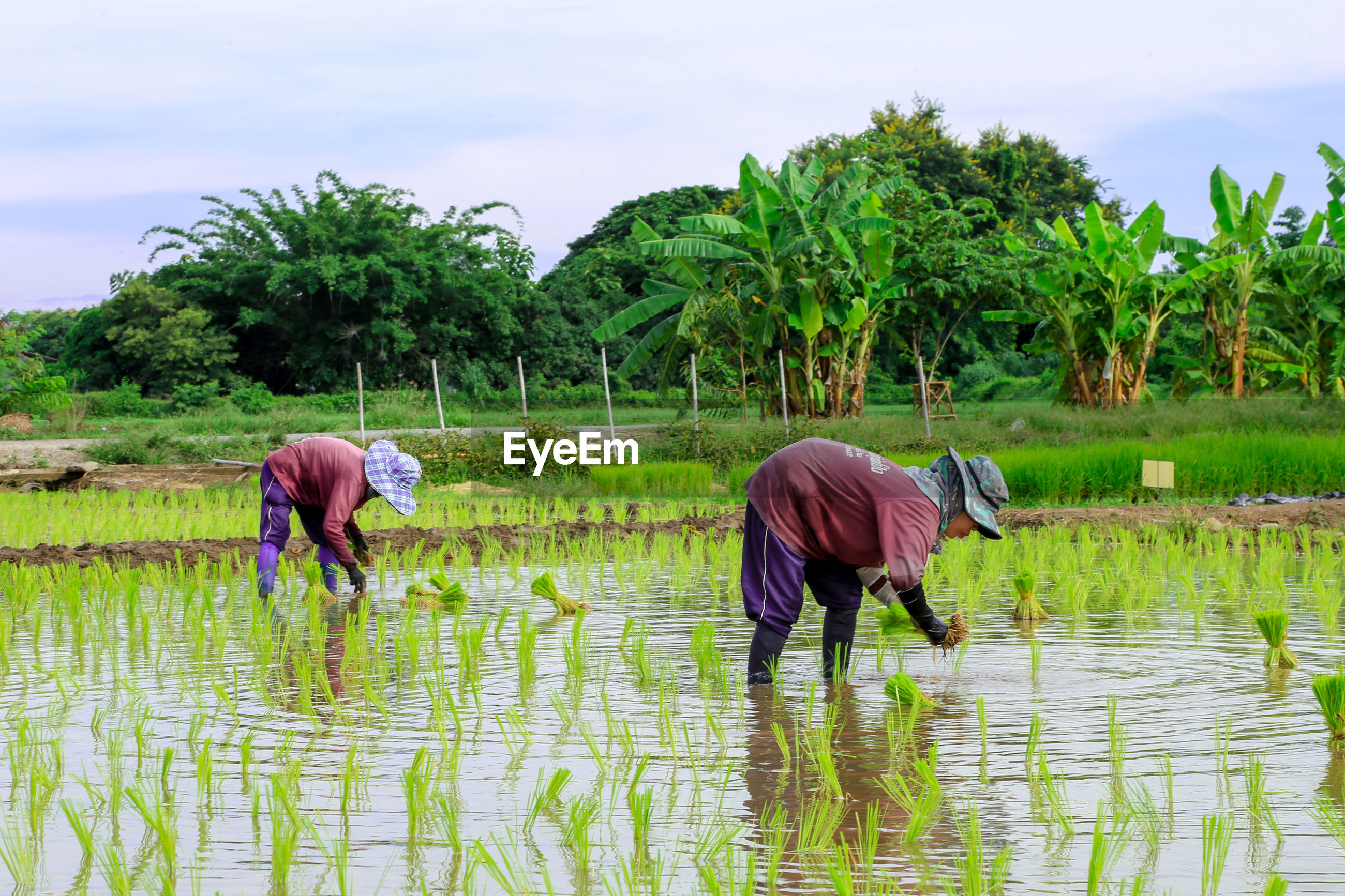 Farmers working in rice paddy