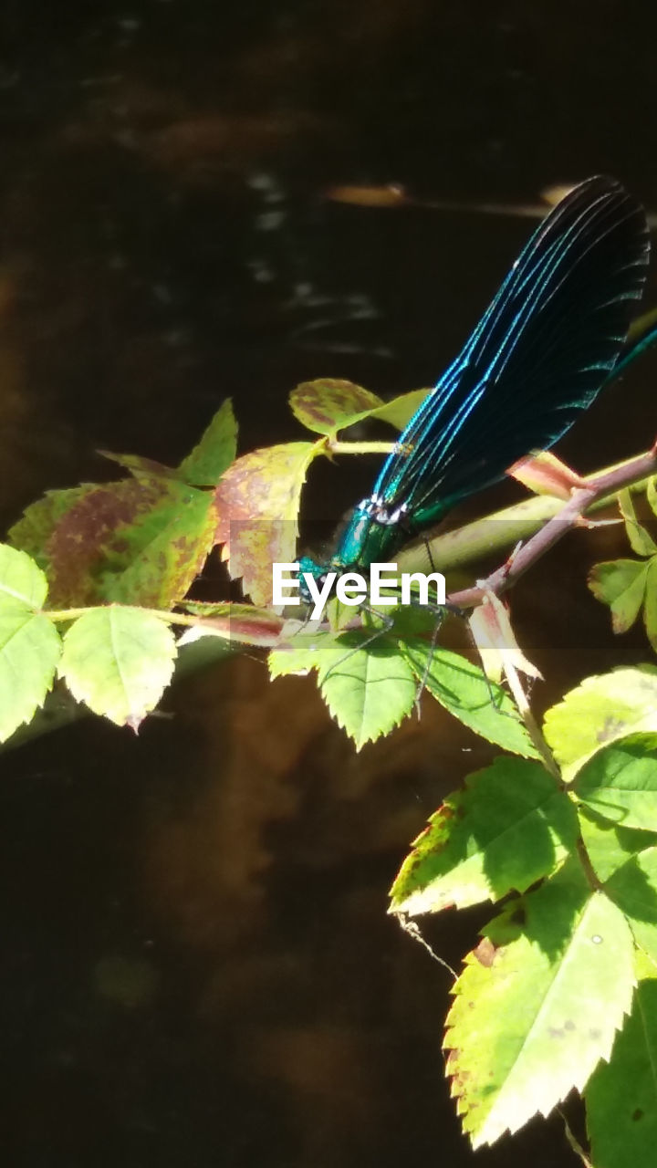 leaf, plant part, one animal, green color, animals in the wild, animal wildlife, insect, animal themes, animal, close-up, plant, invertebrate, damselfly, nature, no people, blue, day, animal wing, focus on foreground, beauty in nature, outdoors