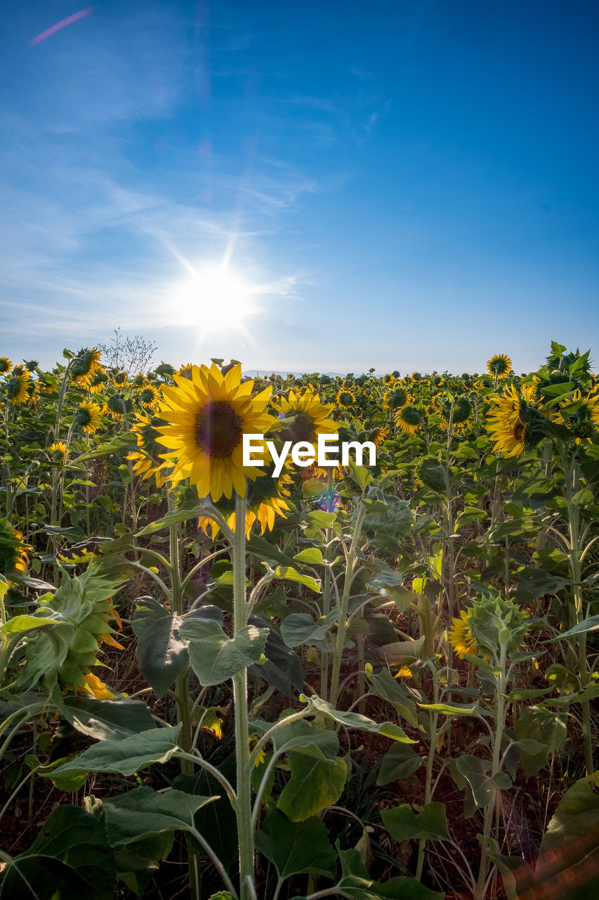 flowering plant, flower, plant, growth, fragility, beauty in nature, vulnerability, yellow, sky, freshness, flower head, sunlight, nature, inflorescence, petal, sun, field, sunflower, close-up, plant part, no people, outdoors, lens flare, pollen, bright
