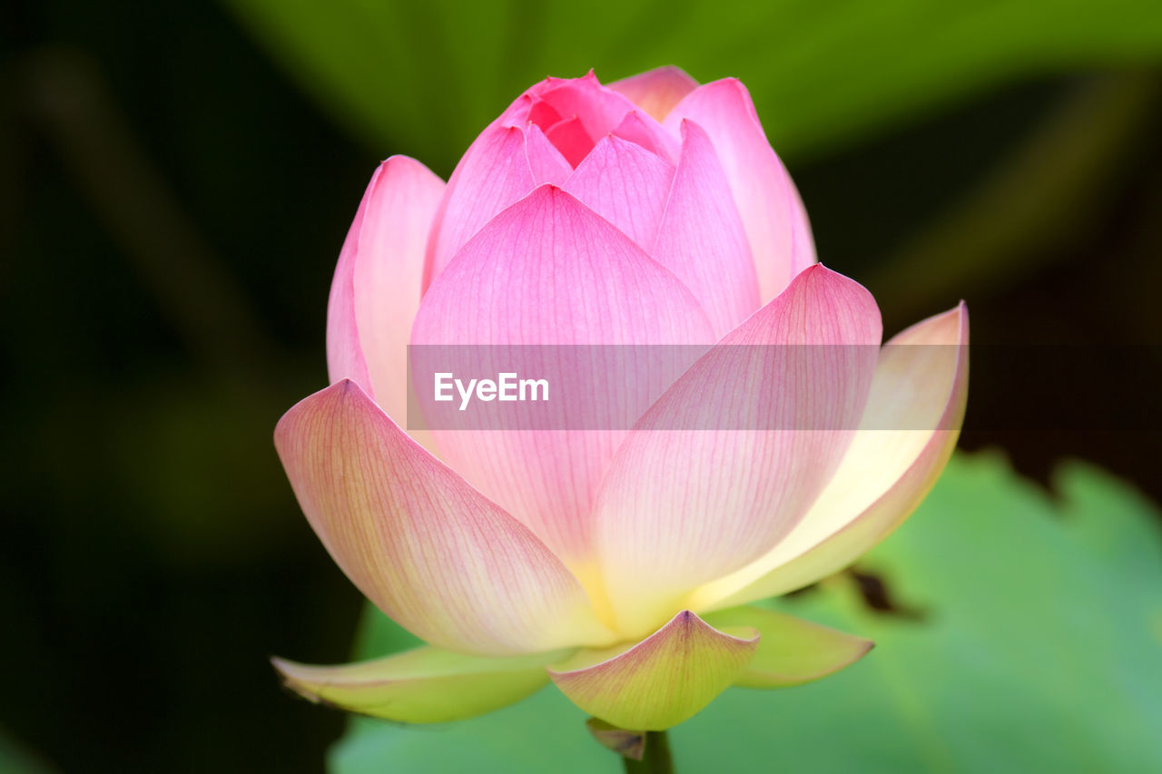 flower, petal, beauty in nature, fragility, nature, flower head, freshness, pink color, plant, growth, lotus water lily, no people, close-up, lotus, blooming, water lily, day, outdoors