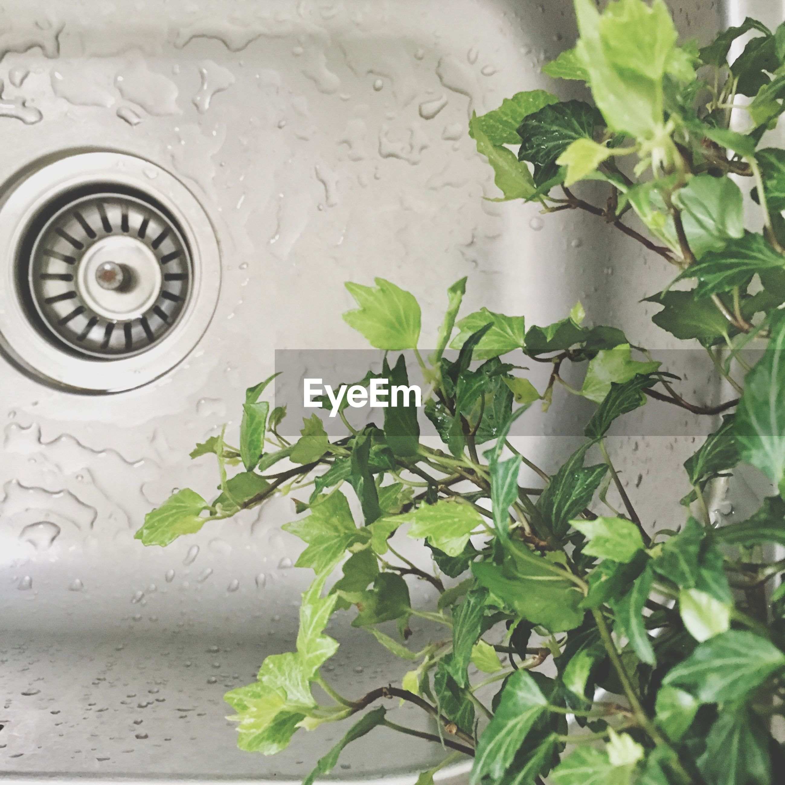 leaf, water, sink, green color, domestic kitchen, no people, plant, drop, indoors, close-up, domestic room, freshness, day