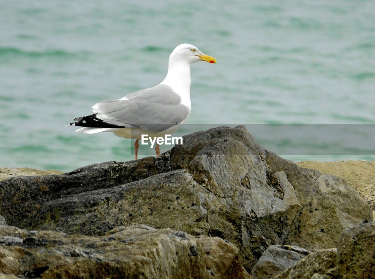 bird, animals in the wild, animal themes, rock - object, one animal, animal wildlife, water, day, focus on foreground, perching, nature, no people, seagull, sea, outdoors, beauty in nature, close-up