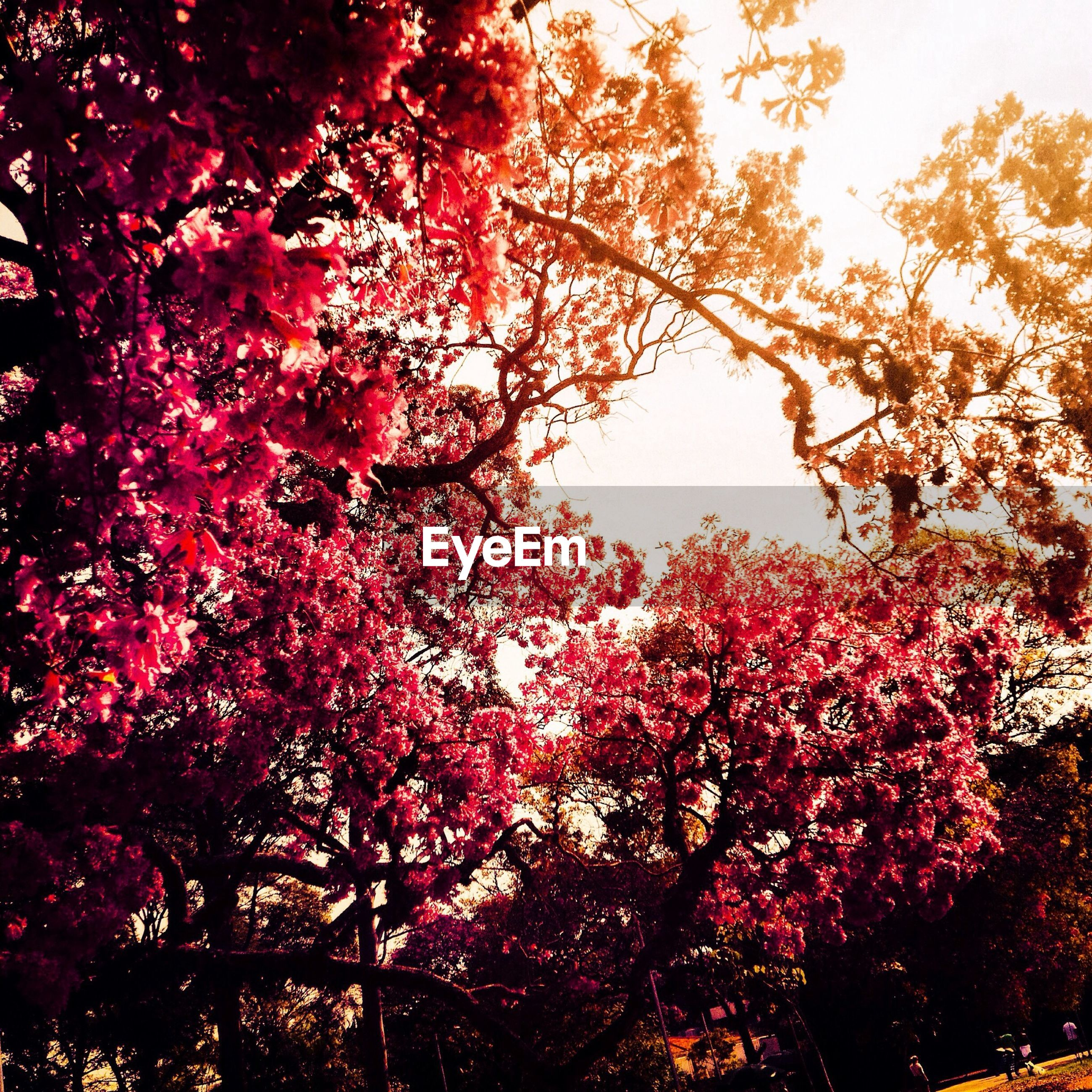 tree, branch, low angle view, growth, autumn, beauty in nature, change, nature, season, clear sky, red, leaf, tranquility, sky, outdoors, day, scenics, no people, flower, pink color