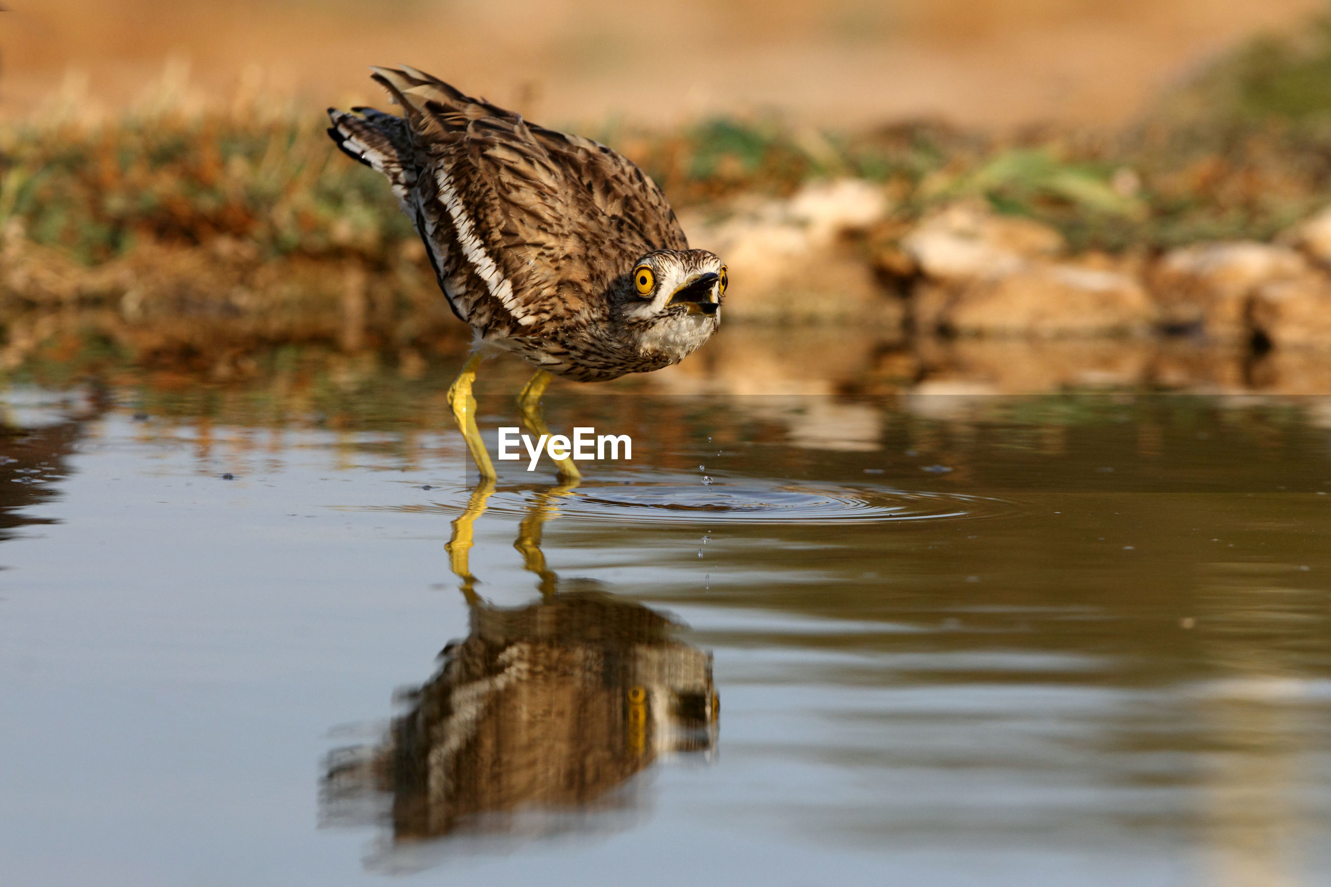 SIDE VIEW OF BIRD DRINKING WATER