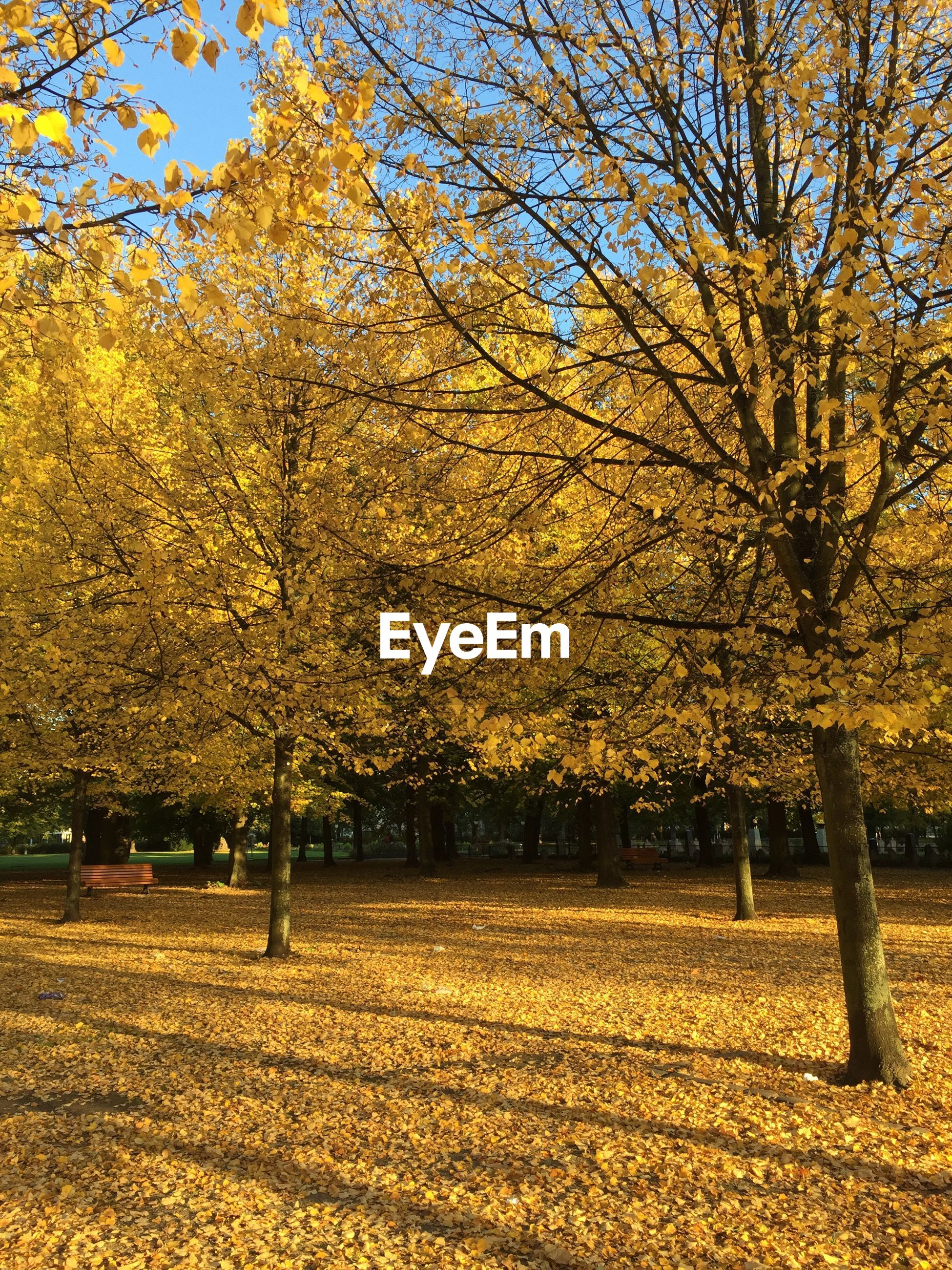 tree, change, autumn, season, tranquility, tranquil scene, beauty in nature, field, yellow, growth, scenics, branch, nature, park - man made space, tree trunk, park, day, outdoors, non-urban scene, treelined, no people, grassy, solitude