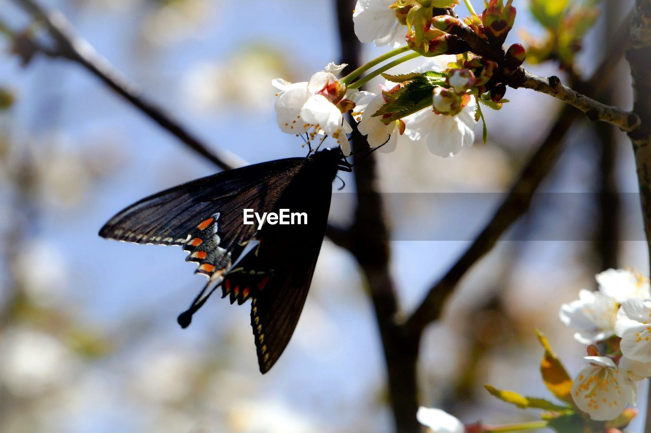 flower, fragility, animal themes, animals in the wild, beauty in nature, nature, one animal, no people, freshness, insect, butterfly - insect, petal, growth, focus on foreground, close-up, flower head, day, branch, outdoors, pollination, tree