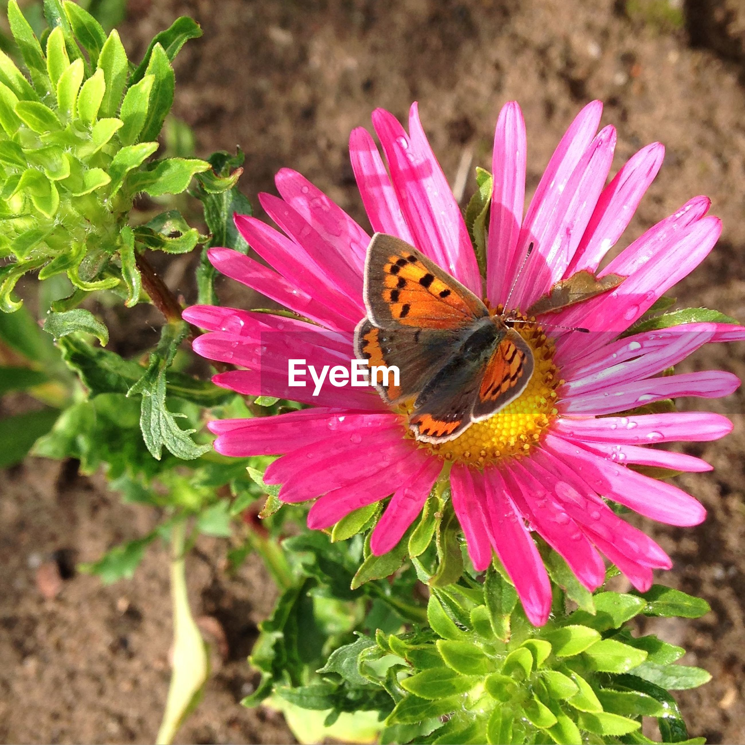 High angle view of butterfly on pink flower